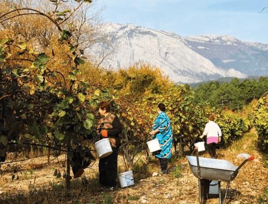 Сбор актинидии в Крыму
