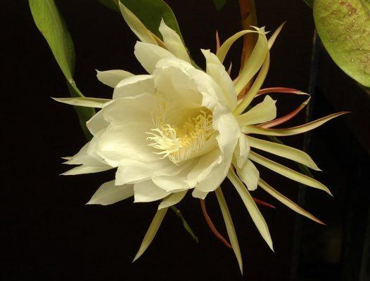 Кадупул — самый красивый цветок мира