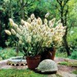 Зайцехвост в цветочных горшках