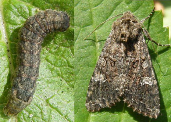 Бабочка и гусеницы совки