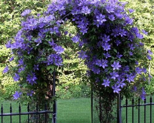 Клематис на воротах