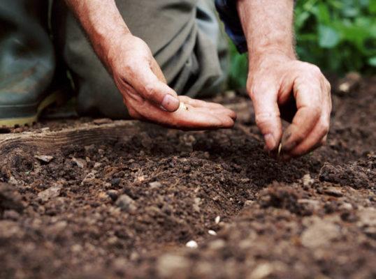 Посадка зайцехвоста семенами