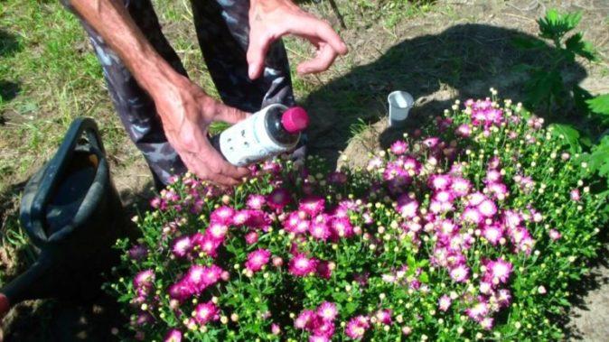 Подкормка кустовых хризантем