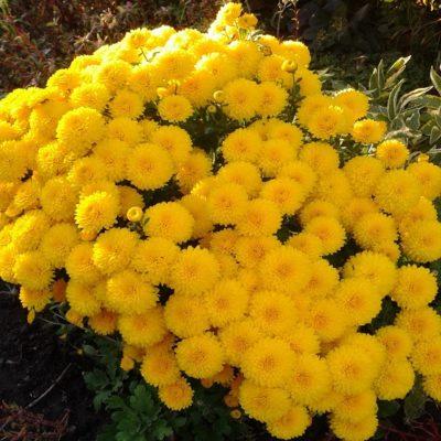 Хризантемы сорта «Алиса»