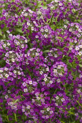 алиссум «Фиолетовая дымка»