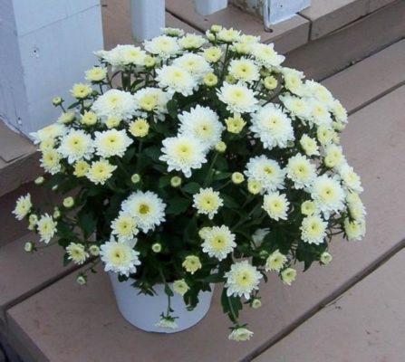 Белые хризантемы в горшке