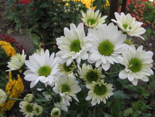 Кустовые хризантемы «Бакарди»