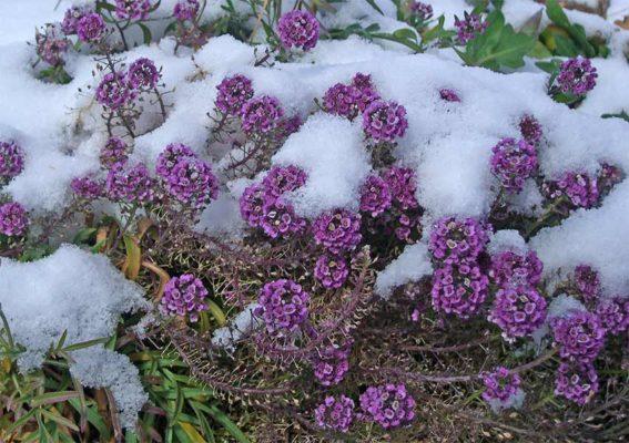 алиссум зимой