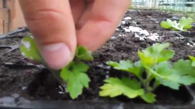 Высадка ростков хризантем в отдельные ёмкости