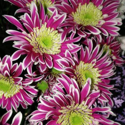 Хризантемы «Саба»