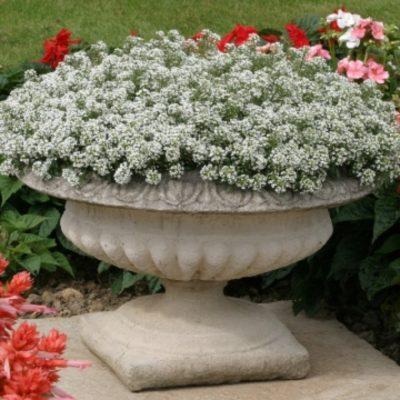 алиссум в садовом вазоне