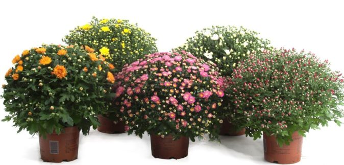 Кустовые хризантемы в горшках