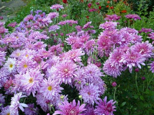 Корейская садовая хризантема