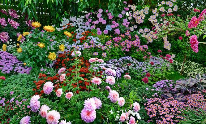 Кустовые хризантемы разных сортов