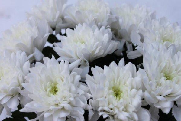 Белые хризантемы «Балтика»