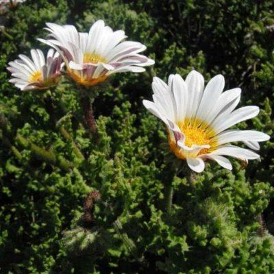 Arctotis breviscapa