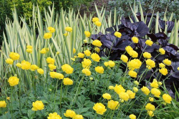 Купальница Лемон Квин в саду