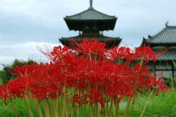 Ликорис в Японии