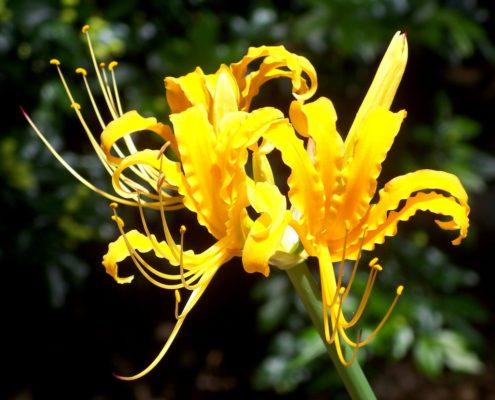 Ликорис золотистый