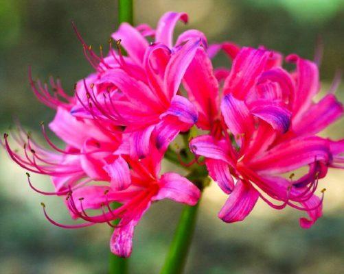 Розовый ликорис