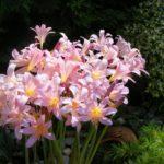 Ликорис в саду