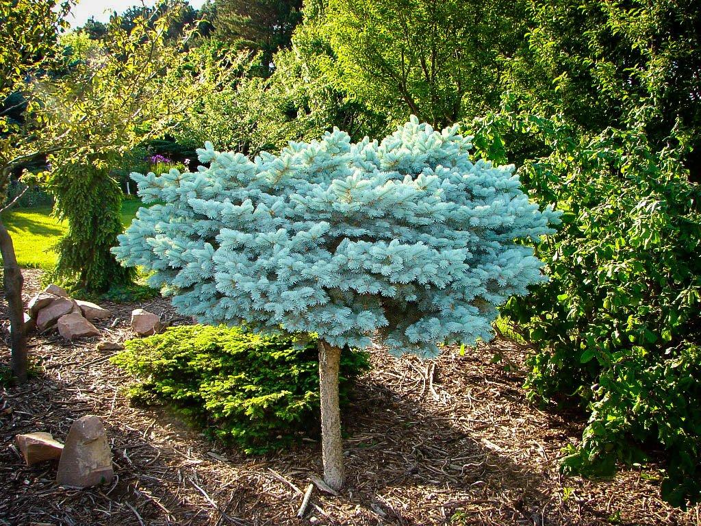 Как садить голубую ель осенью