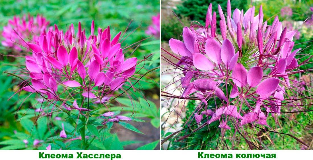 kleoma_hasslera_i_kolyuchaya_1550146501_5c655bc5a7b6f.jpg