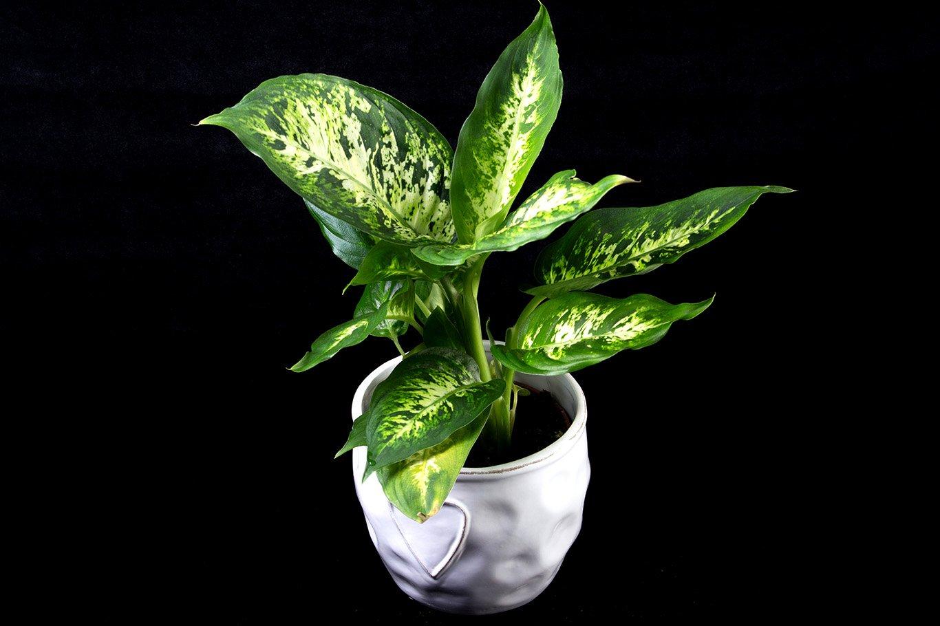 Размножение диффенбахии в домашних условиях черенками, верхушкой, укоренение и рассадка растения