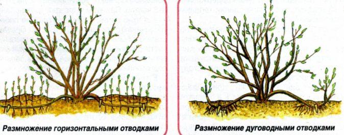 Размножение крыжовника дуговидными и горизонтальными отводками