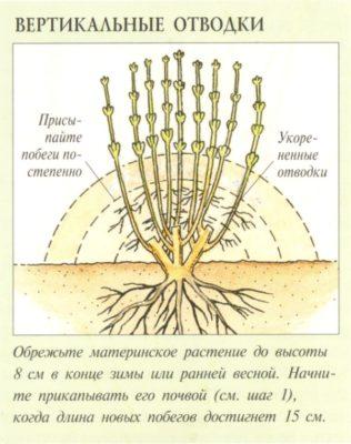 Размножение крыжовника вертикальными отводками