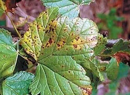 Антракоз на листьях