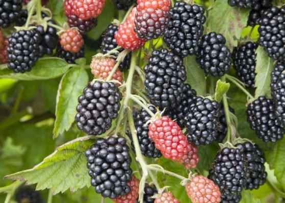 Растущие ягоды ежевики