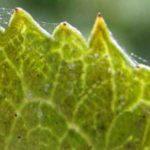 Лист, поражённый паутинным клещом