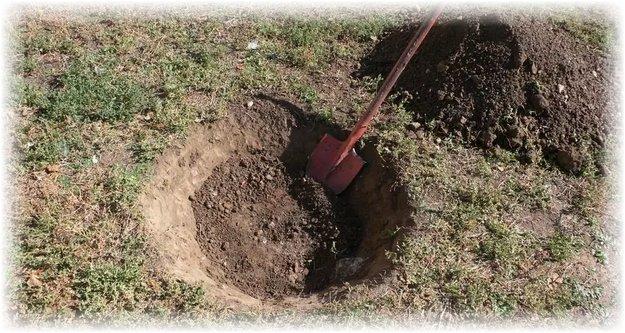 Посадочная яма для куста ремонтантной ежевики