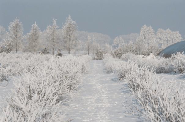 Кусты голубики зимой