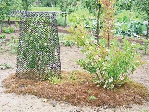 Укрытый сеткой куст голубики