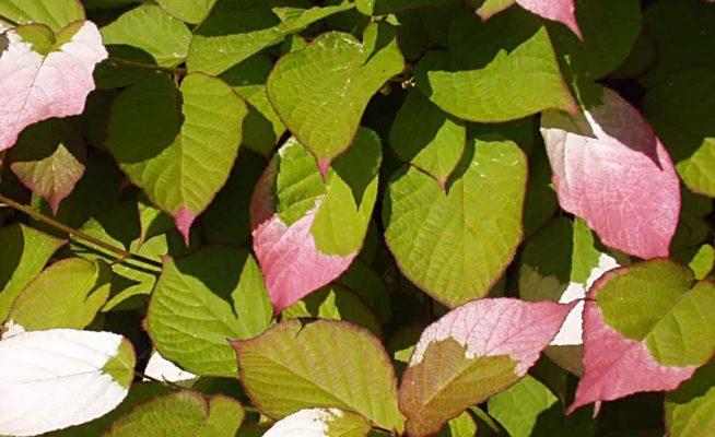 Листья актинидия