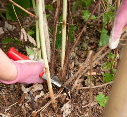 Вырезка стеблей ежевики