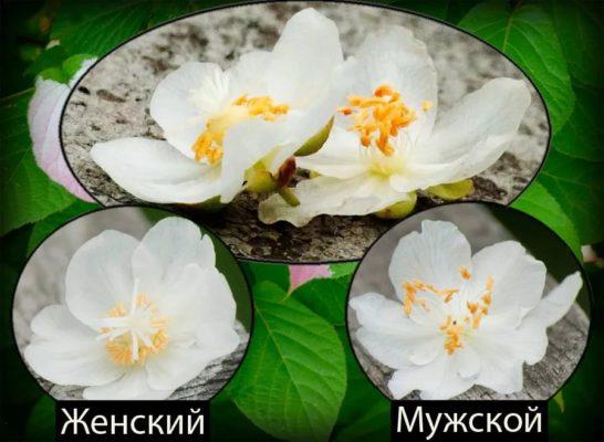 Цветки актинидии
