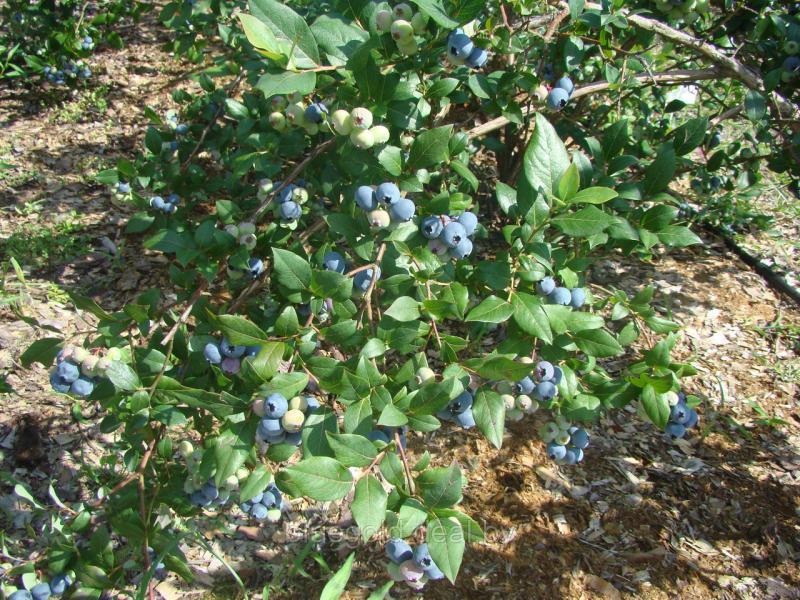Сорта голубики - критерии выбора для посадки растения на даче, видео