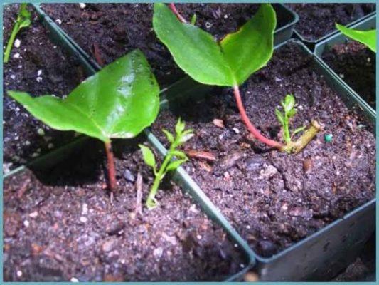 Укоренённые зелёные черенки