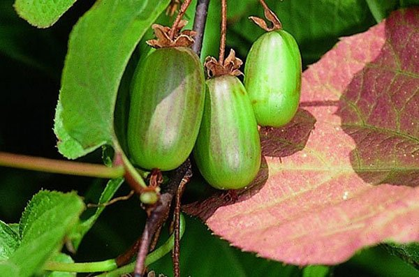 Спелые плоды актинидии