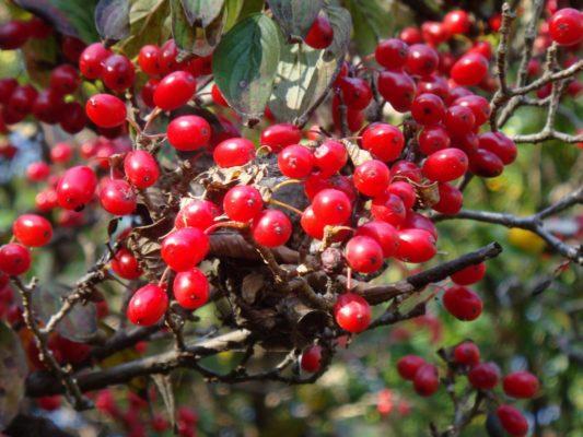 Созревшие ягоды кизила