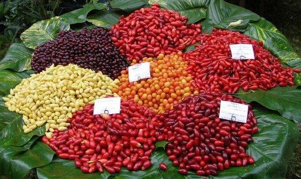 Разноцветные плоды кизила