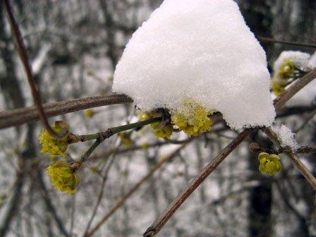 Цветущий кизил под снегом
