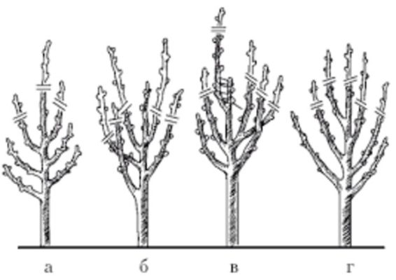 Схема обрезки кизила