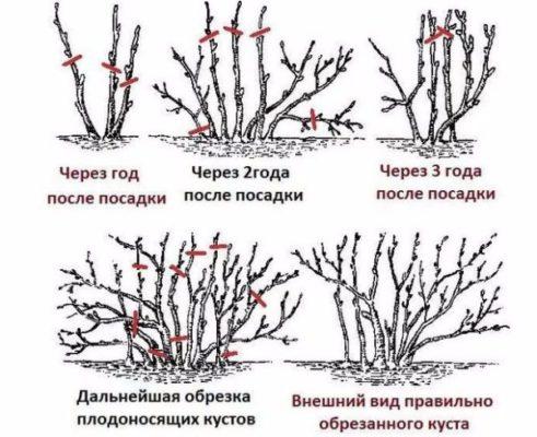 Схема обрезки шиповника