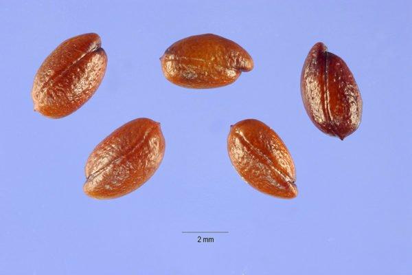Семена шефердии