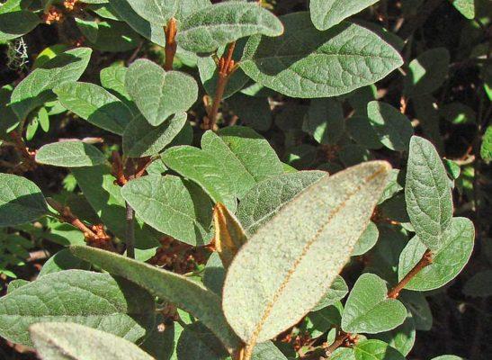 Листья шефердии