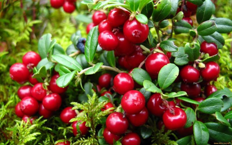 Особенности выращивания брусники на дачном участке. Брусника посадка и уход в открытом грунте полезные свойства